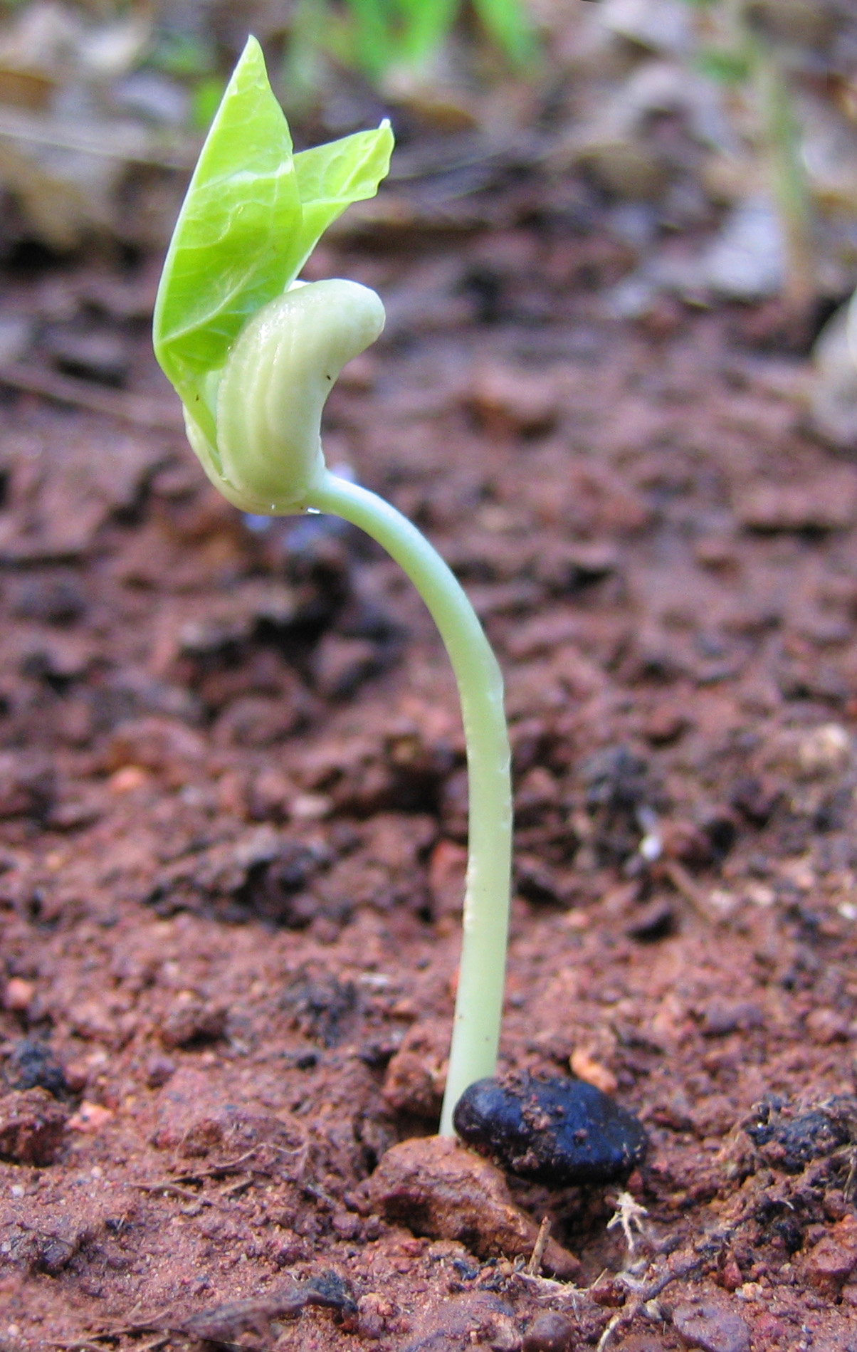Pea_seed_germinating.jpg